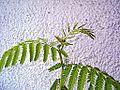 Desmanthus illinoensis flowering Poland.JPG