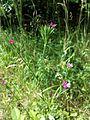 Dianthus armeria sl1.jpg