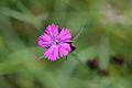 Dianthus carthusianorum (7354171306).jpg