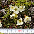 Diapensia lapponica with scale.jpg