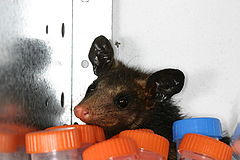 Didelphis marsupialis Cayenne French Guiana.JPG