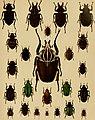 Die exotischen Käfer in Wort und Bild (1908) (20903802622).jpg