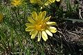 Die sonnengelbe Blüte eines Adonisröschens.jpg