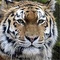 Dierenpark Emmen Portrait of a siberian tiger (9187111340).jpg