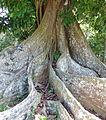 Dimorphandra mora-Jardin botanique de Kandy (1).jpg
