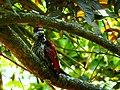 Dinopium psarodes, Sri Lanka DSCN1278-013.jpg