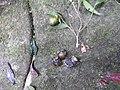 Diospyros fliosa-2-chemungi hill-kerala-India.jpg