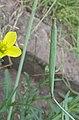 Diplotaxis tenuifolia siliques, wilde rucola hauw (2).jpg