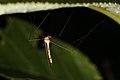 Diptera sp. (36427478712).jpg