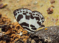 Discolampa ethion – Banded Blue Pierrot 07.JPG