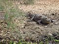 DjoudjCrocodile.jpg