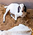 Doe or Nanny- Female goat relaxing on sand.jpg