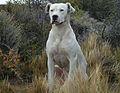 Dogo argentino recentre.jpg