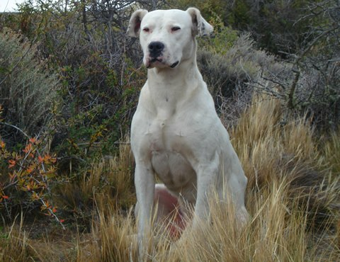 Dogo argentino recentre