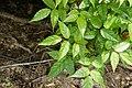 Dolichandrone spathacea 5503.jpg