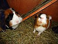 Domesticated guinea pigs 10.jpg