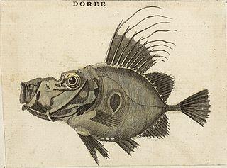 Doree fish 18th century
