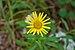 Doronicum orientale in Plitvice Lakes National Park, Croatia (DSC 0439).jpg