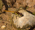 Dragonfly Common Darter 6 (6058830279).jpg