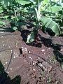 Drip irrigation in banana farm 1.jpg