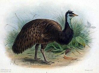 King Island (Tasmania) - King Island Emu
