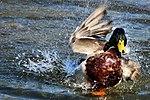 Duck - Rutland Water (17187535692).jpg