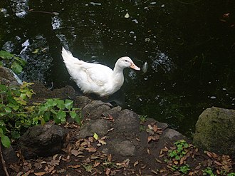 Duck pond - Image: Duck near pond