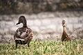 Ducks (112899419).jpeg