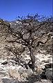 Dunst Oman scan0338 - Weihrauch.jpg