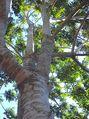 Dysoxylum rufum trunk & leaves.jpg