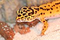 EUBLEPHARIS-MACULARIUS Leopard-Gecko Leopardgecko 201705276004.jpg