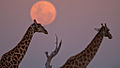 Earth-Touch Giraffe Moon.jpg