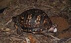 Eastern Box Turtle 8679.jpg