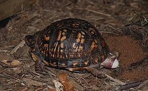 Eastern box turtle - Image: Eastern Box Turtle 8679