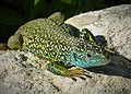 Eastern Green Lizard (Lacerta viridis) (43477932470).jpg