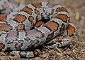 Eastern Milk Snake (Lampropeltis triangulum triangulum) (27916193197).jpg