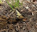 Eastern Tiger Swallowtail (Papilio glaucus) on horse manure - Schoolhouse Gap Trail - Flickr - Jay Sturner.jpg