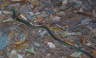 Airlie Gardens - Eastern Glass Lizard