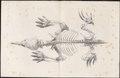Echidna spec. - skelet - 1700-1880 - Print - Iconographia Zoologica - Special Collections University of Amsterdam - UBA01 IZ20300206.tif