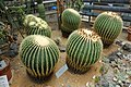 Echinocactus grusonii - Food and Agriculture Museum - Setagaya, Tokyo, Japan - DSC09880.jpg