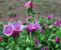 Echium amoenum plant.png