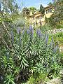 Echium candicans with villa of Serres de la Madone.jpg
