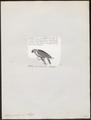 Eclectus cornelia - 1872 - Print - Iconographia Zoologica - Special Collections University of Amsterdam - UBA01 IZ18500251.tif