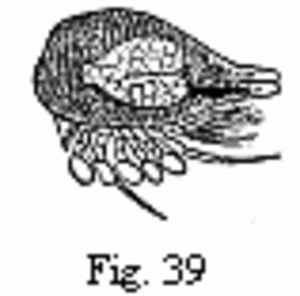 Embryons desséchés - Image: Edriophthalma 39