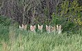 Eight Coyote Pups at Metzger Farm Open Space, Colorado (47981560893).jpg