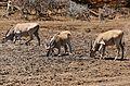 Elands (Taurotragus oryx) drinking ... (33044872036).jpg