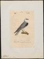Elanus melanopterus - 1842-1848 - Print - Iconographia Zoologica - Special Collections University of Amsterdam - UBA01 IZ18200372.tif