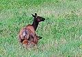Elk with Calf (19465853725).jpg