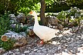 Emden goose at the National Garden of Athens.jpg