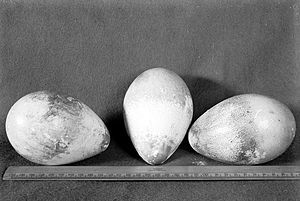 Edward Adrian Wilson - Herbert Ponting's photograph of the three Emperor penguin eggs